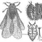 【ぶどうの天敵?!】害虫フィロキセラとは?(ブドウネアブラムシ)